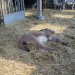 Un petit ânon endormit